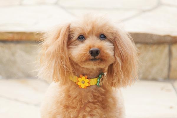 犬 首輪 ka005-005